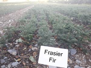 Frasier fir christmas tree plant