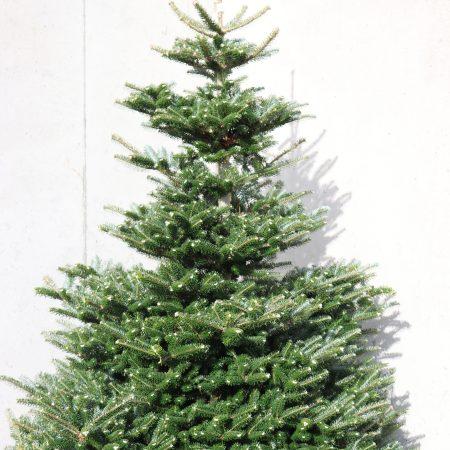 Korean Fir Christmas Tree