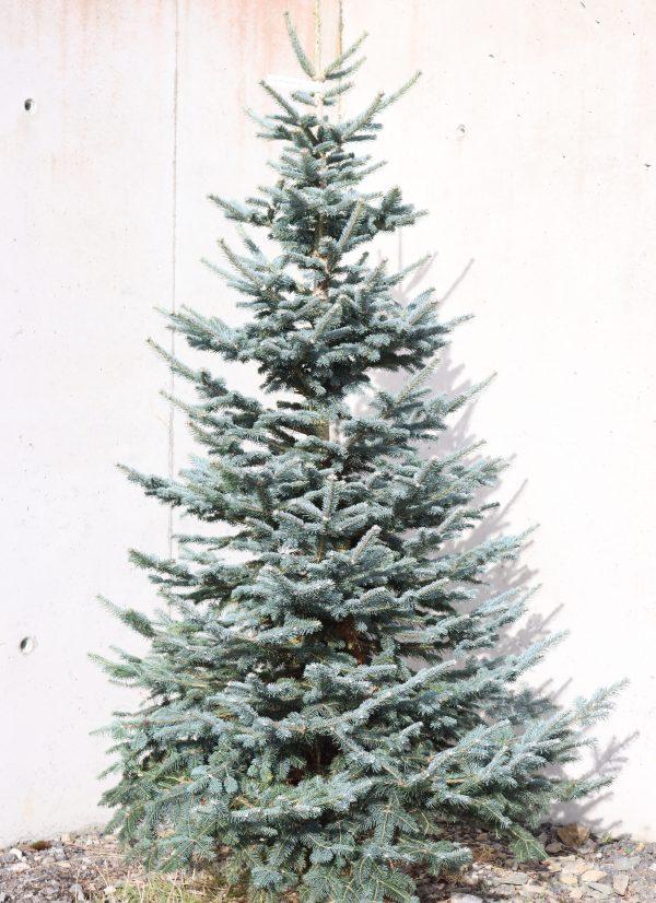 LasioCarpa Fir Christmas Tree