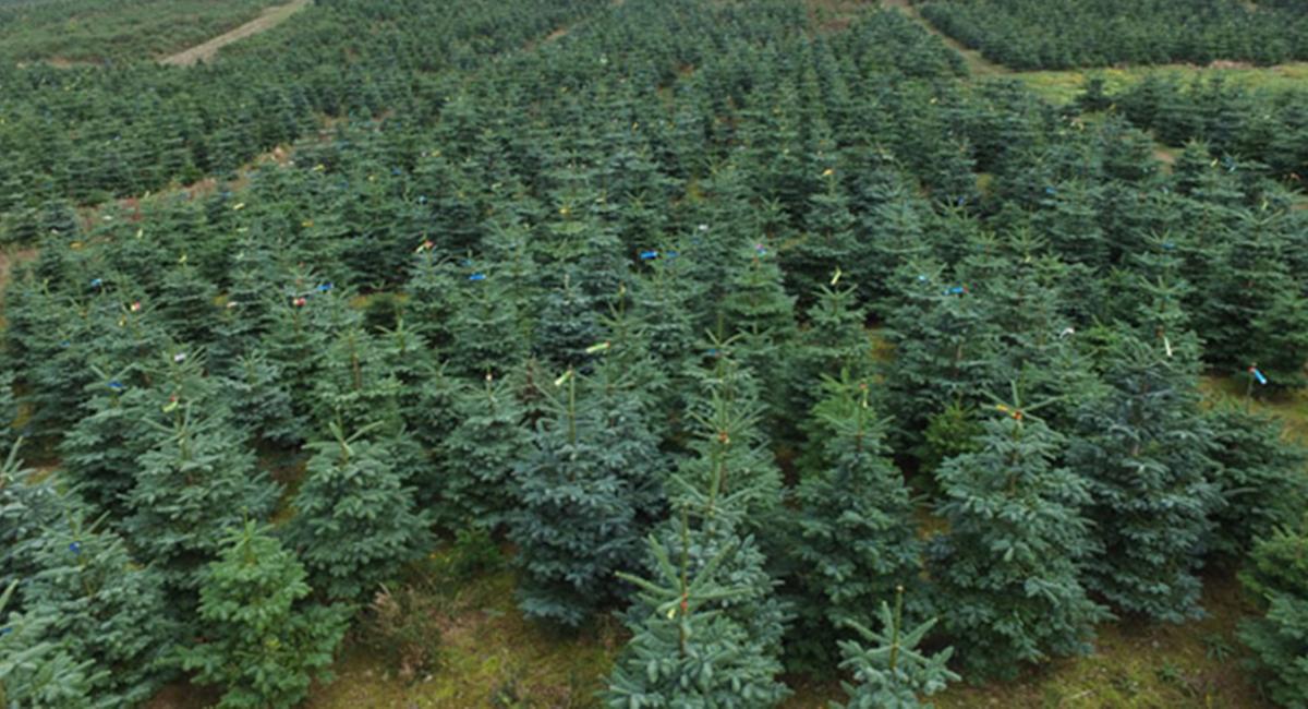 Picking Real Christmas Tree
