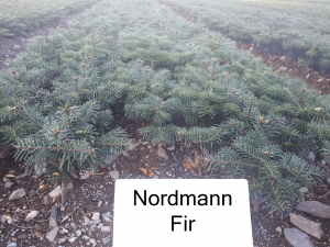 nordman fir christmas tree plant